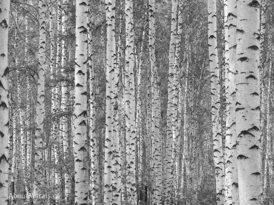 Birch tree wallpaper in black and white sold by AboutMurals.ca